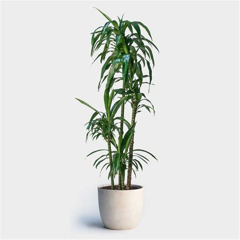indoor plants nyc dracaena lisa cane greenery nyc