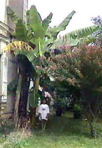 des bananiers rustiques en belgique