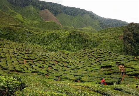 Teh Hijau Boh Di Malaysia 7 tempat menarik di cameron highland yang wajib anda pergi