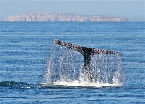 puerto vallarta whale watching puerto vallarta whale