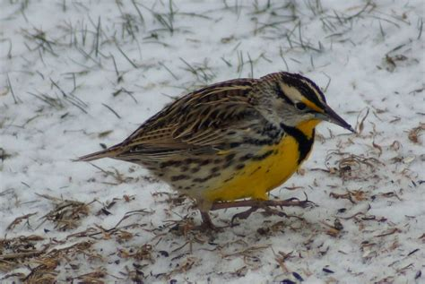 tn bird eastern or western meadowlark russellville tn