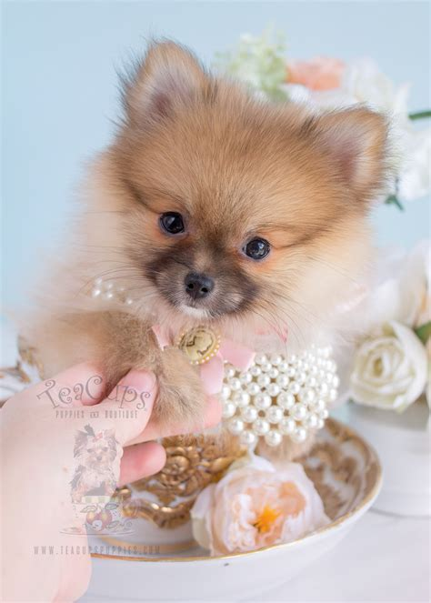 pomeranian boutique adorable pomeranian puppy teacups puppies boutique