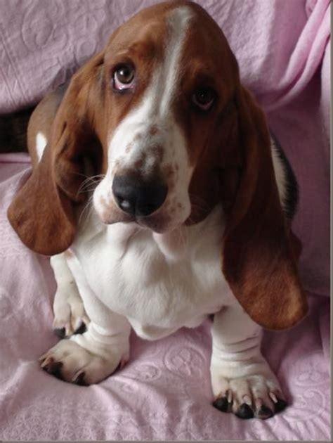 hound names best 25 basset hound ideas on hound puppies baby basset hound
