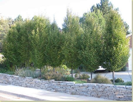 best backyard trees for privacy the best privacy trees what to plant if you see to much