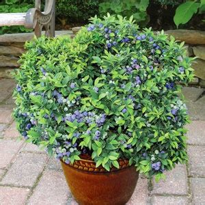 top hat blueberry patio kit 17 best images about square foot gardening on gardens raised beds and plants