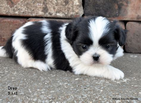 breeders in missouri missouri shih tzu puppies for sale breeds picture