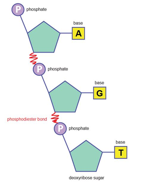 what is a small section of dna called structure of dna and rna the a level biologist your hub