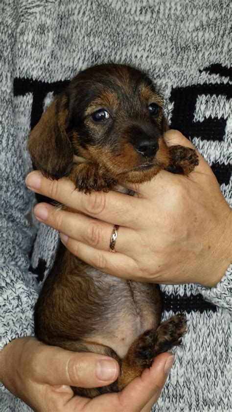 miniature haired dachshund puppies miniature wirehaired dachshund puppies quotes
