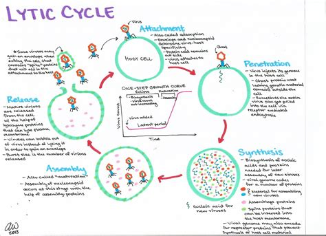 lytic cycle diagram microbiology study guides s biology study guides