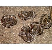 Kingsnakecom  Herpforum Permit To Sell Baby Anacondas In CA