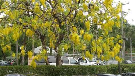 where to buy a tree miami every day photo cassia fistula