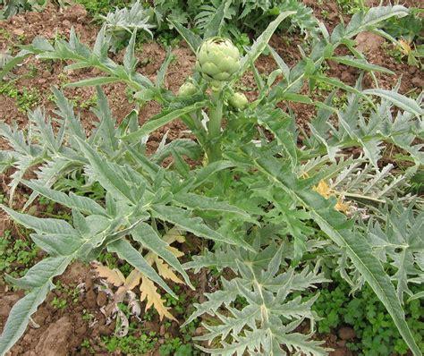 d d file plant complet d artichaut jpg wikimedia commons
