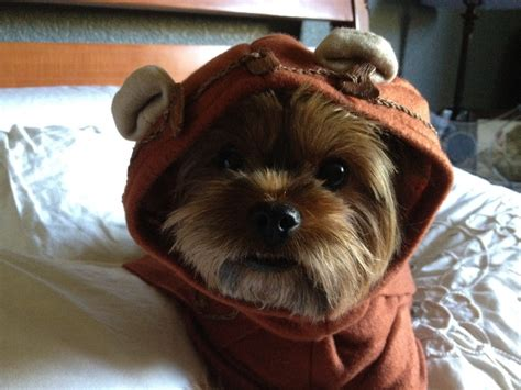 yorkie ewok costume 17 best images about animals and on cars reindeer and cat names
