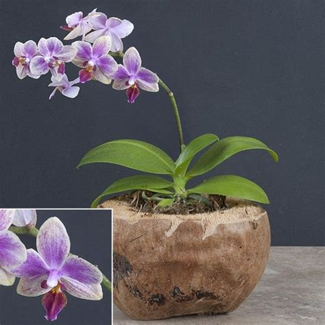 17 best images about orchids on pinterest indigo orchid