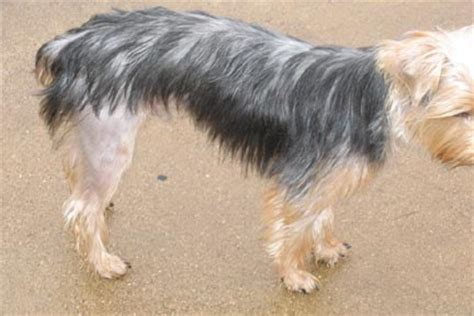 yorkie losing hair hair loss yorkietalk forums terrier community