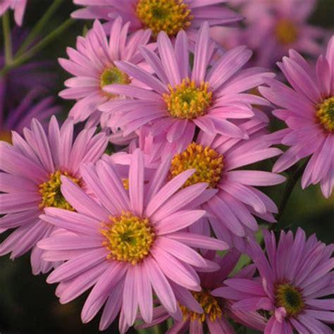 Set Kulot Aster Pink Atasan Pink 1 asters varieties compared dorset perennials