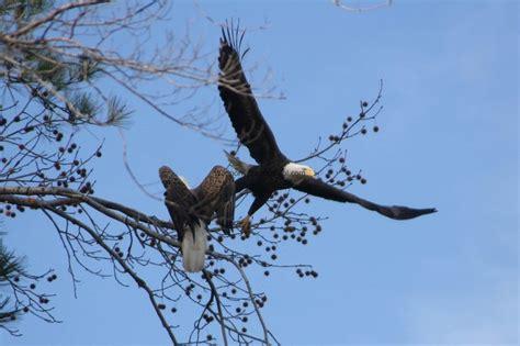 334 best eagles images on pinterest bald eagles eagles