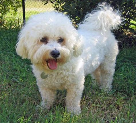 Bichon Frise Also Search For Bichon Frise Search Bichon Fris 233 Chi Chi S Board