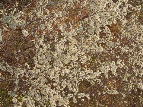 pianta dai fiori bianchi un arbusto dai fiori bianchi prunus spinosa forum natura