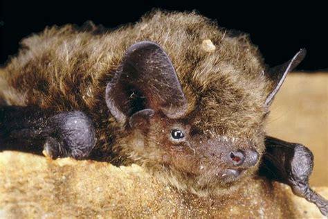 le pipistrelo pipistrelli rivalutiamoli su la biologia marina