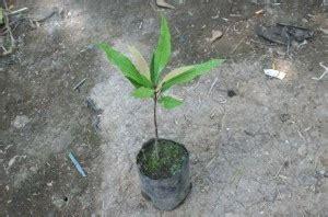 Jual Bibit Bunga Di Jambi jual bibit cengkeh di jambi jual bibit pohon tanaman