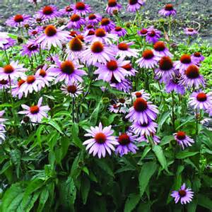 echinacea purpurea our plants of the month for june