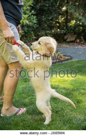 how to keep a golden puppy away from the xmas tree golden retriever puppy begging for food stock photo royalty free image 101390674 alamy