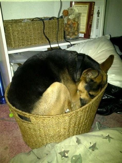 how to make puppy sleep 5 problems only german shepherd owners will understand