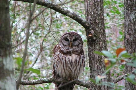 edge of the wildwood birding in tennessee barred owl