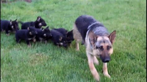 german shepherd puppies for sale ga german shepherd puppies dogs for sale in columbus macon ga athens
