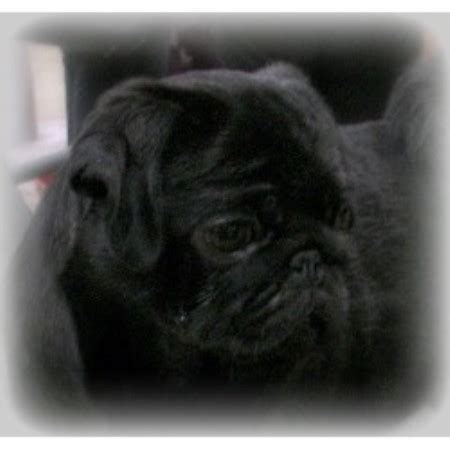 pug breeders bc caillet pugs pug breeder in chilliwack columbia listing id 14618