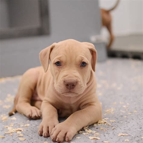 blue and white pitbull puppies blue nose pitbull puppies for sale blue pitbull pitbulls