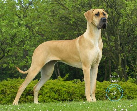 scooby doo breed great dane breed photo breeds picture