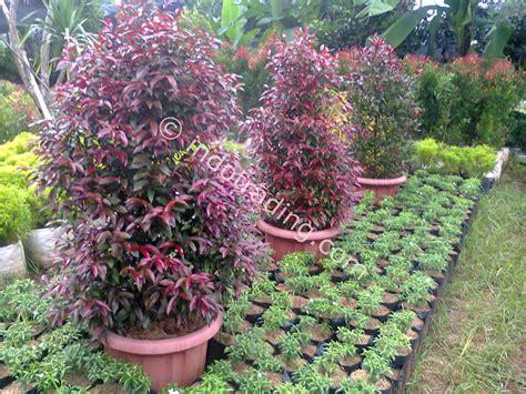 Pupuk Untuk Bunga Pucuk Merah jual pucuk merah harga murah depok oleh warung tanaman