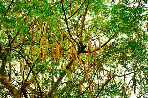 Teh Moringa moringa oleifera wiktionary