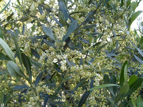 fiore olivo acqua e nutrienti per gli olivi in fiore olivo e olio