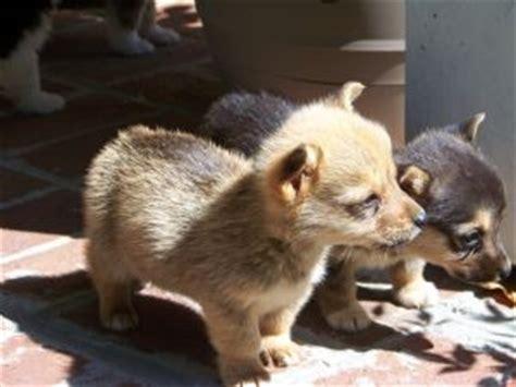 corgi puppies raleigh nc pembroke corgi puppies in kentucky