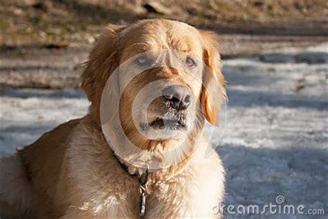 golden retriever growling growling royalty free stock images image 25461719