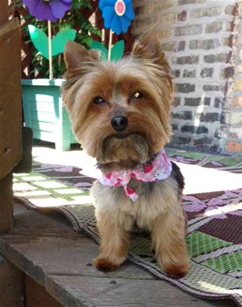 miniature yorkshire terrier summertime yorkie haircut