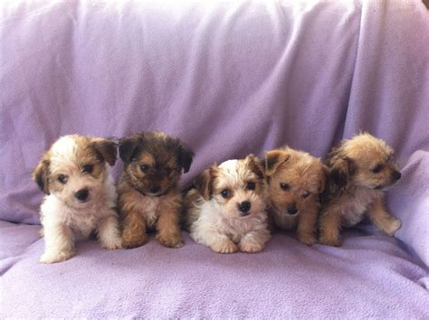 borkie puppies yorkie x bichon borkie puppies llandeilo carmarthenshire pets4homes