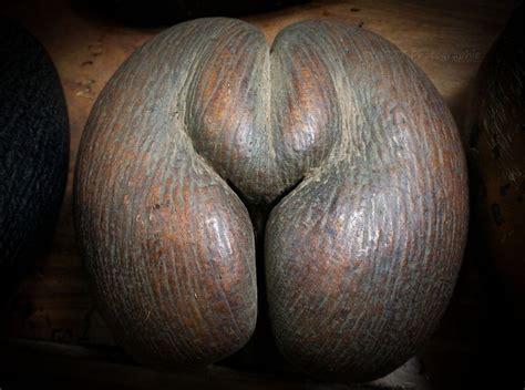 Coco De coco de mer the forbidden fruit amusing planet