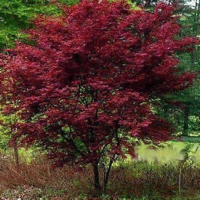emperor japanese maple 3 gallon 24 30 quot ht japanese landscaping backyard