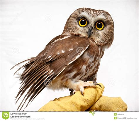 tiny petite small owl on hand stock photo image 26956830