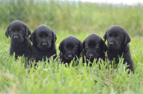 black lab puppies for sale wi at se om balbirnie khaki vil forts 230 tte den positive udvikling