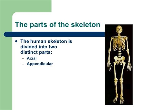 the human skull is divided into what two sections the human skeleton is divided into hd m com