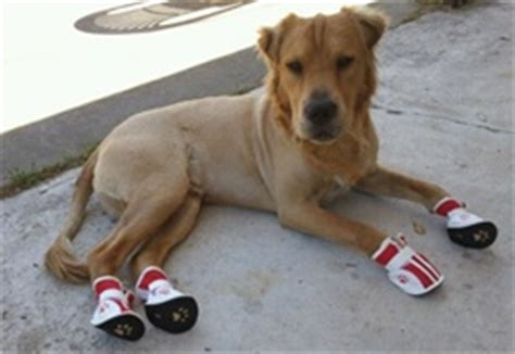 shar pei and golden retriever mix shar pei golden retriever mix wearing sneakers