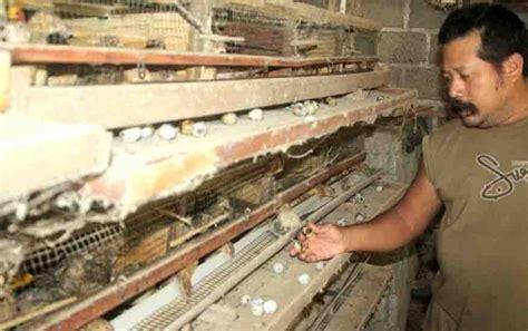 Harga Pakan Burung 2017 harga pakan terus melambung peternak burung puyuh mengeluh