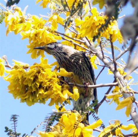 file a wattle bird on a tree jpg wikimedia commons