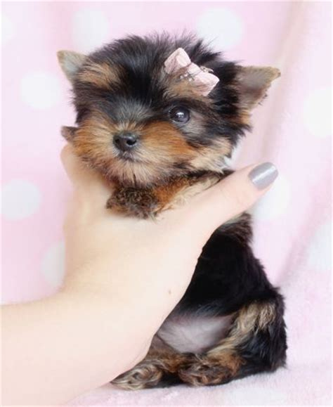 yorkie miami 1000 ideas about yorkie puppies for sale on terrier puppies