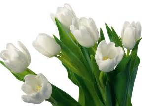 White Flower Images by Flowers For Flower Lovers White Tulips Flowers